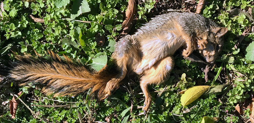 dead squirrel
