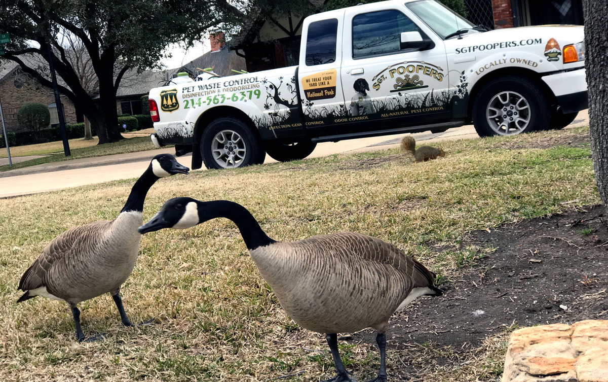 Canadian geese by Sgt. Poopers truck