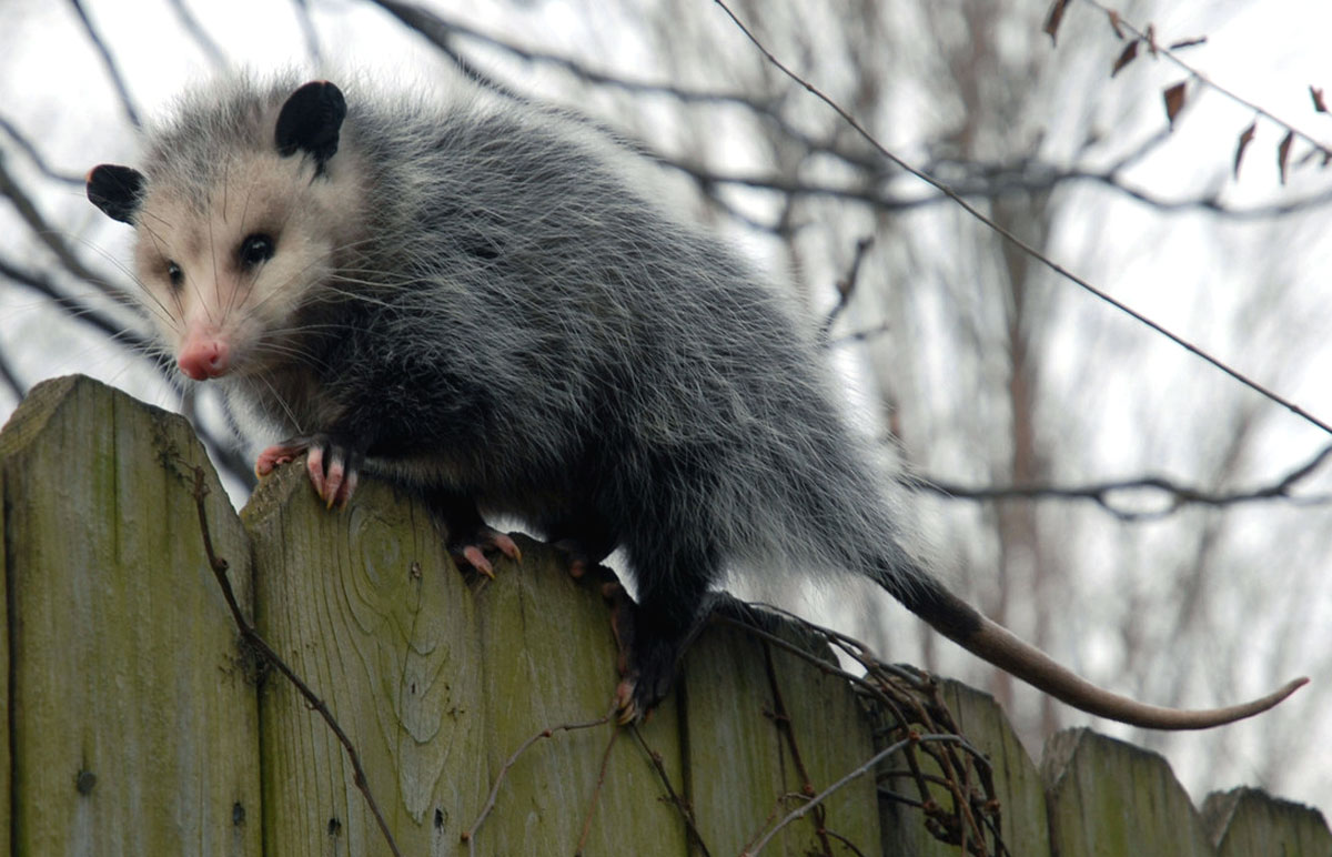 Image of possum on a fence